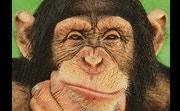 Ayumu Chimp